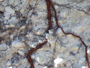 Vine roots in Bellet poudingue